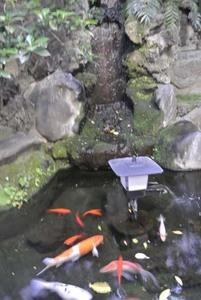 池の端ではなく池の鯉3823.jpg